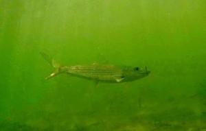 bonefish_underwater